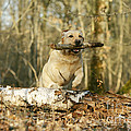 Labrador Jumping With Stick by Jean-Michel Labat