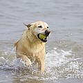 Labrador-mix Retrieving Ball by Geoff du Feu