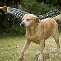 Labrador Playing In Water by Jean-Michel Labat