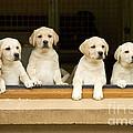 Labrador Puppies At Window by Jean-Michel Labat