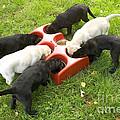 Labrador Puppies Eating by Jean-Michel Labat