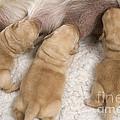 Labrador Puppies Suckling by Jean-Michel Labat