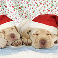 Labrador Puppy Dogs Wearing Christmas by John Daniels