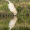 Labrador Puppy Drinking by Jean-Michel Labat