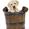 Labrador Puppy In Bucket by John Daniels
