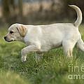 Labrador Puppy by Jean-Michel Labat