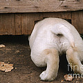 Labrador Puppy by John Daniels