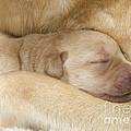 Labrador Puppy On Mother by Jean-Michel Labat