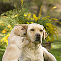 Labrador Puppy Playing With Parent by Jean-Michel Labat