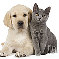 Labrador Puppy With Chartreux Kitten by Jean-Michel Labat