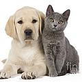 Labrador Puppy With Chartreux Kitten by Jean-Michel Labat