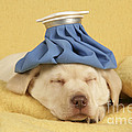 Labrador Puppy With Ice Pack by John Daniels