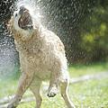Labrador Retriever And Hose by Johan De Meester