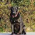 Labrador Retriever  by Barbara Griffin