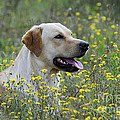 Labrador Retriever Dog by John Daniels
