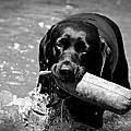 Labrador Retriever by Emily Bemelmans