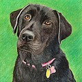 Labrador Retriever by Melanie Feltham