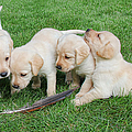Labrador Retriever Puppies And Feather by Jennie Marie Schell