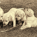 Labrador Retriever Puppies And Feather Vintage by Jennie Marie Schell