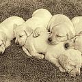 Labrador Retriever Puppies Nap Time Vintage by Jennie Marie Schell