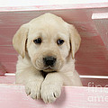Labrador Retriever Puppy by John Daniels
