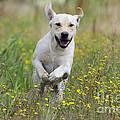 Labrador Running by John Daniels