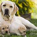 Labrador With Two Puppies by Jean-Michel Labat