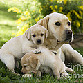 Labrador With Young Puppies by Jean-Michel Labat
