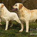 Labradors by Jean-Michel Labat