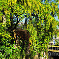 Laburnum By The River by Susie Peek