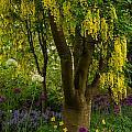 Laburnum Tree In Bloom by Jordan Blackstone