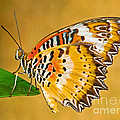 Lacewing Butterfly Cethosia Sp by Millard H. Sharp