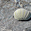 Lacy Shell On A Beachrock by Barbara Griffin