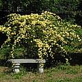 Lady Banksia Rose by Cheryl Kostanesky
