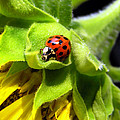 Ladybug And Sunflower by Christina Rollo