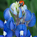 Lady Bug And Bluebonnet by David and Carol Kelly