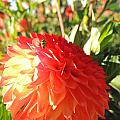 Lady Bug In The Dalias by Lucy Howard