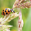 Lady Bug On A Warm Summer Day by Andrew Pacheco
