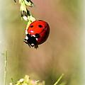 Lady Bug by Travis Truelove