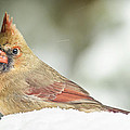 Lady Cardinal In The Snow by Peg Runyan