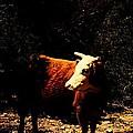 Lady Cow by Jessica Shelton