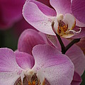 Lady Pink Orchid by Valia Bradshaw