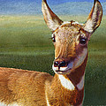 Lady Pronghorn by R christopher Vest