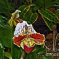 Lady Slipper Orchid by Howard Stapleton