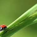 Ladybird On Green Leaf by Cliff Norton