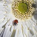 Ladybug by Garry Gay