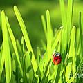 Ladybug In Grass by Carlos Caetano