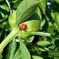 Ladybug Ladybug  by Caryl J Bohn