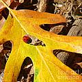 Ladybug Leafing By Diana Sainz by Diana Raquel Sainz