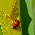 Ladybug Macro by Bill Owen